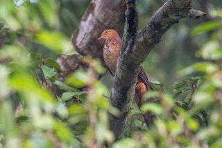 Little_Cuckoo_Dove.jpg