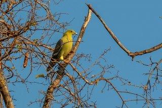 Madagascar_Green_Pigeon.jpg