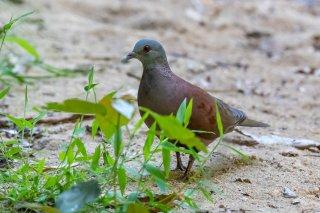 Malagasy_Turtle_Dove.jpg