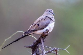 Namaqua_Dove_f.jpg