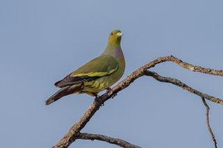 Orange-breasted_Green_Pigeon.jpg