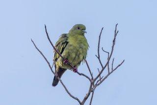 Orange-breasted_Green_Pigeon_f.jpg
