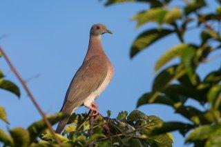 Pale-vented_Pigeon.jpg