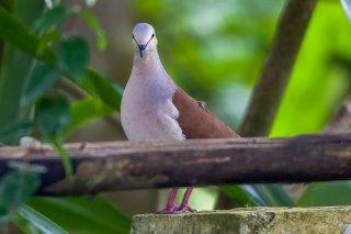 Pallid_Dove.jpg