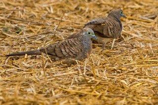 Peaceful_Dove.jpg