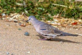 Picui_Ground-Dove.jpg