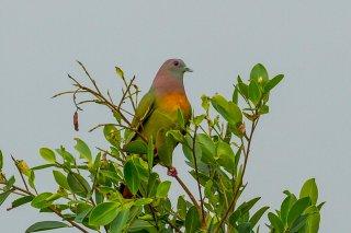 Pink-necked_Green_Pigeon.jpg