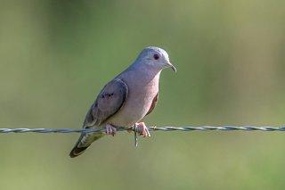 Plain-breasted_Ground_Dove.jpg