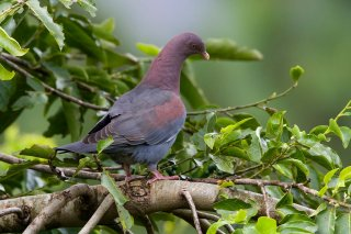 Red-billed_Pigeon.jpg