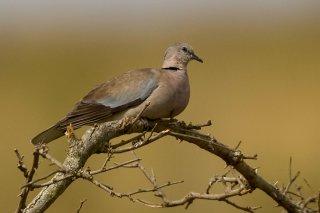 Ring-necked_Dove.jpg