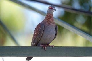 Speckled_Pigeon.jpg