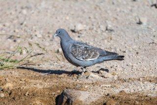 Spot-winged_Pigeon.jpg