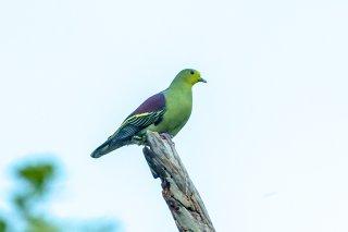 Sri_Lanka_Green_Pigeon.jpg