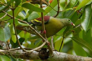Thick-billed_Green_Pigeon.jpg