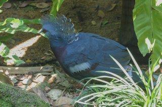 Victoria_Crowned_Pigeon.jpg