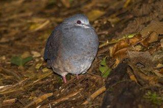 Violaceous_Quail-Dove.jpg