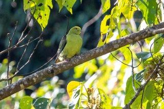 Wedge-tailed_Green_Pigeon_-_Treron_sphenurus.jpg