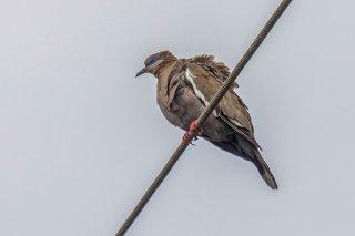 West_Peruvian_Dove.jpg