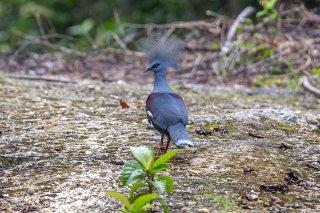 Western_Crowned_Pigeon.jpg