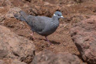 White-collared_Pigeon.jpg