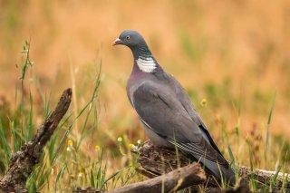 Wood_Pigeon.jpg