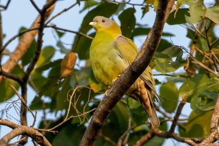 Yellow-footed_Green_Pigeon.jpg