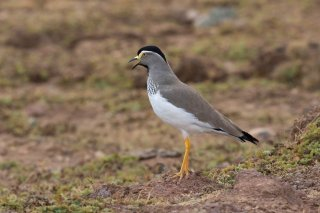 Spot-breasted_Lapwing.jpg