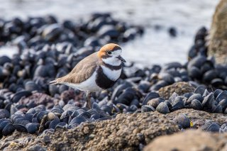 Two-banded_Plover.jpg