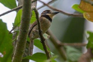 Chestnut-capped Puffbird