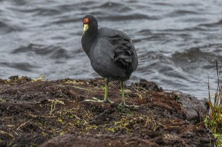 Andean_Coot.jpg