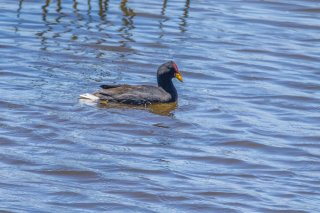 Red-fronted_Coot.jpg