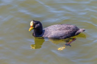 Red-gargeted_Coot.jpg