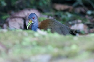 Slaty-breasted_Wood_Rail.jpg
