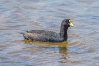 White-winged_Coot.jpg