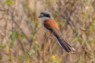 Burmese Shrike - Lanius collurioides