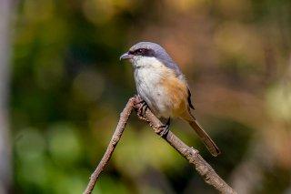 Grey-backed Shrike - Lanius tephronotus