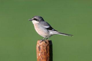 Iberian Grey Shrike - Lanius meridionalis