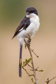 Long-tailed Fiscal - Lanius cabanisi