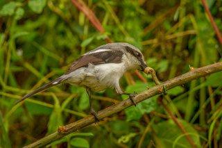 Mackinnon's shrike - Lanius mackinnoni
