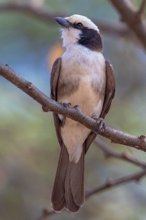 Northern White-crowned Shrike - Eurocephalus ruppelli