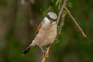 Red-backed Shrike - Lanius collurio
