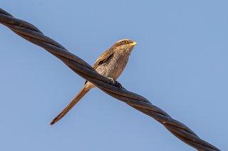 Yellow-billed Shrike - Corvinella corvina