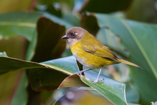 Common Bush Tanager - Chlorospingus flavopectus