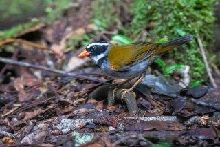 Orange-billed Sparrow - Arremon aurantiirostris