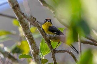 Yellow-breasted Brushfinch - Atlapetes latinuchus