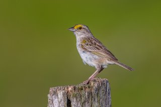 Yellow-browed Sparrow - Ammodramus aurifrons