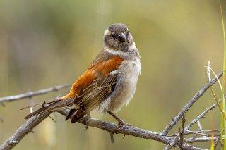 Cape Sparrow (f) - Passer melanurus