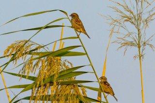 Dead Sea Sparrow - Passer moabiticus