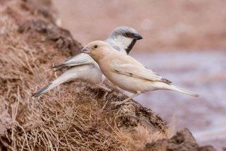 Desert Sparrow - Passer simplex