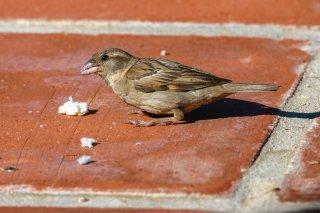 House Sparrow (f) - Passer domesticus